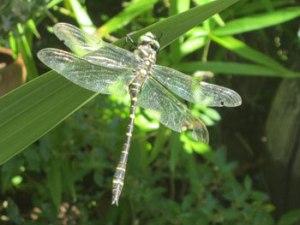 gardoussel-dragonfly