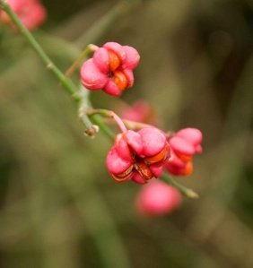 spindle flowerberries