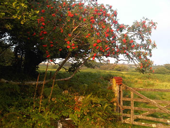 rowan,-drovers',-late-Aug-1